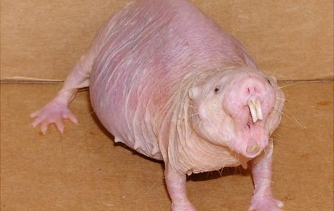 How Naked Mole Rats Conquered Pain